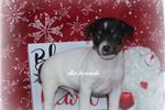 Picture of CUPID- MALE RAT TERRIER- READY 2-26-2020!
