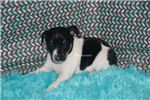 Picture of Winter- Mini Female Rat Terrier- Ready 2-13-18