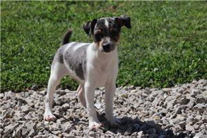 Rat Terriers for sale