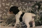 Picture of Christmas Puppy! TWINKLE- Rat Terrier male
