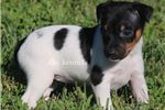 Picture of BENJI- MALE TOY RAT TERRIER- READY 7-8