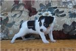 Picture of SOPHIE-FEMALE TRI COLORED RAT TERRIER- READY 7-23