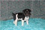 Picture of Diddley-Tri colored Male RT-Ready 2-13-19