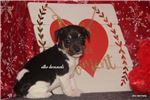 Picture of LOVIE- FEMALE RAT TERRIER- READY 2-26-20