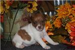 Picture of PAISLEY- RED BRINDLE/WHITE FEMALE RT-READY 10-16