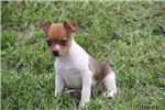 Picture of Roxy- UKCI Toy Rat Terrier Female- Ready 9-27