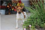 Picture of RAT TERRIER MALE-COPPER- READY NOW!
