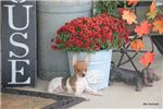 Picture of Roxy- UKCI Toy Rat Terrier Female- Ready now!
