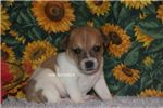 Picture of KRICKET- TAN & WHITE RT MALE- READY 10-24-2019