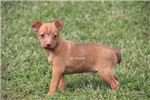 Picture of Rusty- Toy Rat Terrier- Type A- Male- Ready 9-27