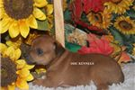 Picture of DOBBIE- RED MALE RT- READY OCT 24