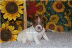 Picture of BOOKER-RED MALE RAT TERRIER- READY 10-24-19