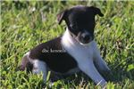 Picture of Nala- Female MINI Rat Terrier - Ready 7-8-19