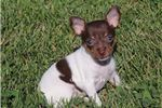 Picture of BRANDY-CHOC TRI FEMALE TOY RT- READY 6-26