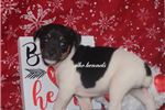 Picture of POOKIE- FEMALE RAT TERRIER- READY 2-26-20!