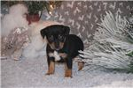 Picture of Christmas Puppy! DASHER- Rat Terrier male