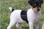Picture of Nala- Female Toy Rat Terrier - Ready 9-27-18