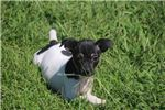 Rat Terrier for sale