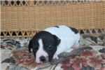 Picture of MICKEY- UKCI REG. BLACK AND WHITE MALE-READY 7-26