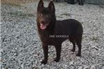 Picture of Hershey-Chocolate Male Schipperke- Ready now!