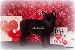 Picture of AKC Sadie- Black Schipperke female- Ready Jan. 19!