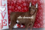 Picture of DASHER-CHOCOLATE SCHIPPERKE MALE-READY NOW1