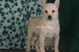 Picture of AKC Comet