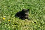 Picture of Smokey- black male Schipperke- Ready May 17!