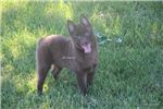 Picture of Coco- Chocolate Male Schipperke- Ready 5-7-18