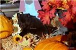 Picture of AKC BLACK SCHIPPERKE MALE-READY NOV 10