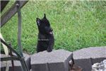 Picture of AKC Schipperke male- Nightshade-Available 6-28-18