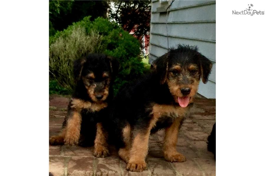 Luna Airedale Terrier Puppy For Sale Near Hampton Roads Virginia