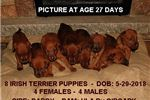 Picture of Fancy Irish Terrier Male Puppy