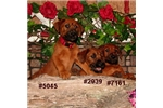 Picture of Bandy #7161 Gorgeous red Irishman