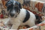 Picture of Foxterrier Wire male 2-Leo