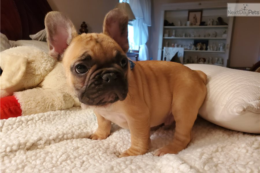 Hobbs: French Bulldog puppy for sale near Springfield