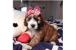 Picture of Rosie, beautiful Clumberten female