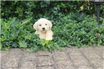 Picture of English Golden Retriever[Dinah]