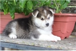 Selah~Sweet Mini Husky Baby! | Puppy at 13 weeks of age for sale