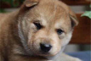 Alaskan Klee Kais for sale