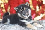 Picture of Milo~Precious Mini Husky!