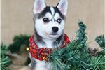 Alaskan Klee Kai for sale
