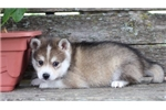 Shea~Gorgeous Mini Husky Boy! | Puppy at 13 weeks of age for sale