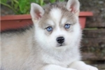 Saki-Lovely Mini Husky Princess! | Puppy at 13 weeks of age for sale