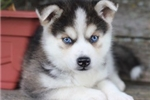 Adorable Mini Husky Boy~Sachi! | Puppy at 13 weeks of age for sale