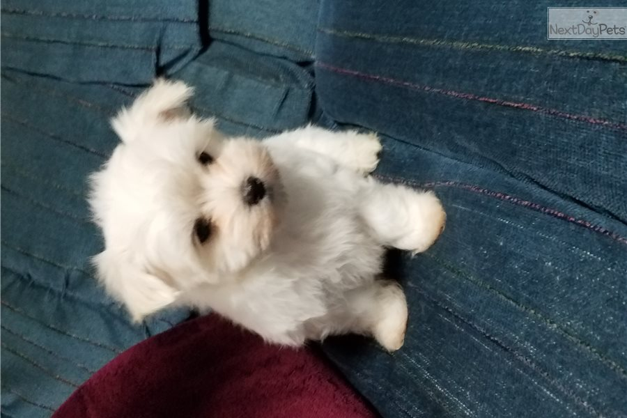 maltese puppies for sale in ms bella maltese puppy for sale near jackson mississippi 915