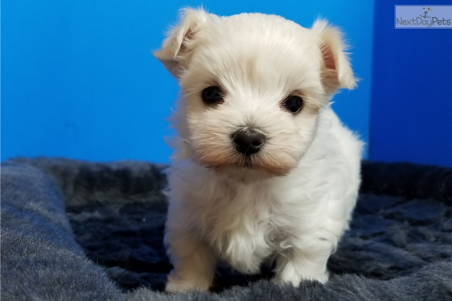 maltese puppies for sale in ms tesa maltese puppy for sale near jackson mississippi 8685