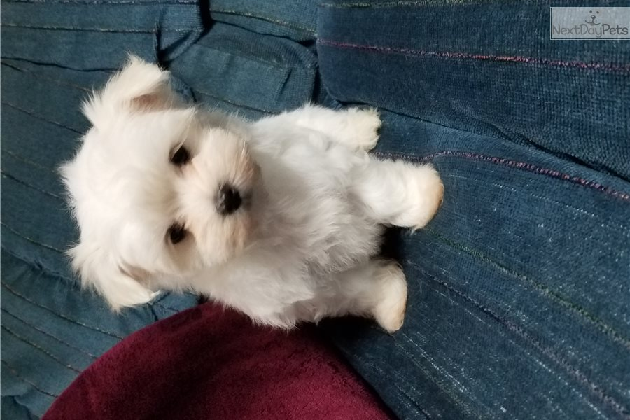 maltese puppies for sale in ms bella maltese puppy for sale near jackson mississippi 6785