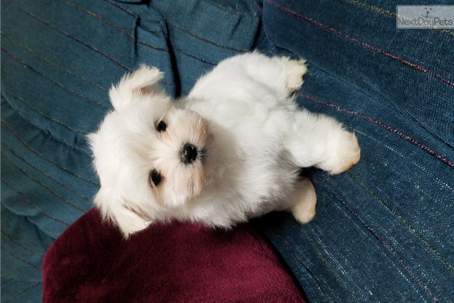 maltese puppies for sale in ms bella maltese puppy for sale near jackson mississippi 7397