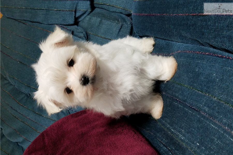 maltese puppies for sale in ms bella maltese puppy for sale near jackson mississippi 9125